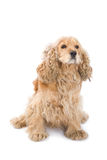Dog. Cute dog close up on white background Stock Photography