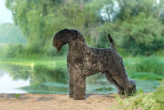 Dog. Standing on river bank Royalty Free Stock Photography