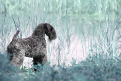 Dog. A dog Dog stand in pond Royalty Free Stock Photo