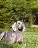 Dog. In grass Royalty Free Stock Photography