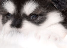 Dog. Close-up of black and white soft puppy dog Stock Photography