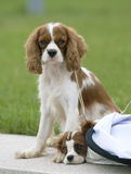 Dog. Two lovely King Charles Cavalier Spaniels playing in the park Royalty Free Stock Photos