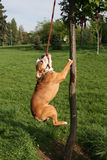 Dog. An english bulldog wanting to take his leash from the tree Royalty Free Stock Photos