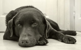 Dog. Chocolate Labrador royalty free stock image