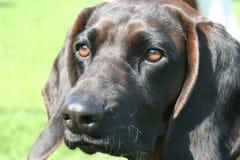 Dog. Bavarian Mountain Scent-hound on exhibition Royalty Free Stock Photos
