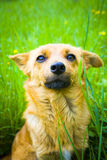 Dog. Portrait of red attentive dog Royalty Free Stock Photo