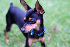 Dog. A miniture doberman pincture Royalty Free Stock Image