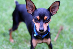 Dog. A miniature Doberman pincher dog looking straight ahead Stock Photography