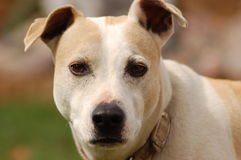 A Dog. Dog looking into the lense with blured background royalty free stock photos
