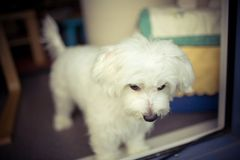 Dog. My lovely dog, a maltese at home Royalty Free Stock Photography