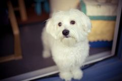 Dog. My lovely dog, a maltese at home Stock Photography