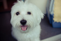 Dog. My lovely dog, a maltese at home Stock Image