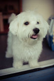 Dog. My lovely dog, a maltese at home Royalty Free Stock Photo