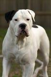 Dog. Bulldog close-up stock photos
