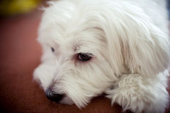 Dog. The sleepy lazy dog at home Stock Photography