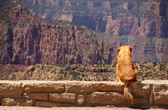 Dog. Sitting on the edge of Grand Canyon Royalty Free Stock Image
