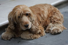 Dog. Laying on the street Royalty Free Stock Image