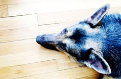 Dog. Pointy ears Royalty Free Stock Image
