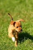 Dog. Puppy running through the grass Royalty Free Stock Images