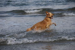 The dog. Runs and jumps into the sea happy Stock Photo
