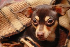 Dog. Brown toy-terrier lies in plaid Royalty Free Stock Photos