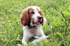 Dog. Breeds English Cocker spaniel Royalty Free Stock Photos