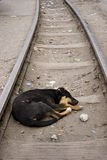 Dog. A dog sleeps on railway rails, India Royalty Free Stock Images