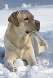 Dog. Is lying on the snow and looking right Royalty Free Stock Photo
