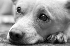 Dog. The sleepy lazy dog at home Stock Image
