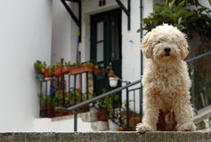 Dog. Cream-haired dog in front of a house royalty free stock images