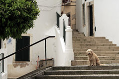 The dog. Cream-haired dog sitting on the stairs Stock Image