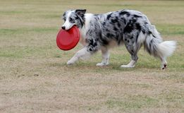 Dog. Playing with frisbee in the lawn Royalty Free Stock Image