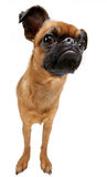 Dog. The dog's breed is petit brabanconne Stock Photos