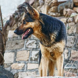 Dog. A watchful dog standing in front of stone wall Royalty Free Stock Photography