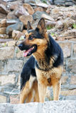 Dog. A watchful dog standing in front of stone wall Stock Photos