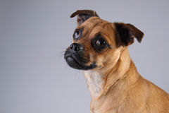 Dog. Portrait of a Jack Russel and Pug mix dog Royalty Free Stock Image