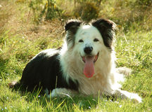 Dog. Border Collie Royalty Free Stock Photo