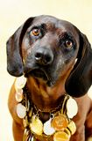 Dog. Bloodhound with medals 2 royalty free stock photo