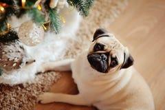 Dog A Pug Stock Photo