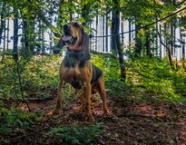 Dog abandonned in the forest tied to a tree. Dog abandonned in the forest tied to a tree royalty free stock photography