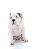 Dog with an abject expression saying sorry. Adorable white dog with an abject expression and soulful eyes sitting looking up at its owner saying sorry after Royalty Free Stock Image