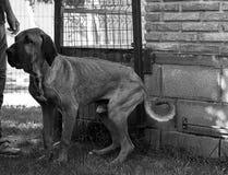 Dog Abused Hound Royalty Free Stock Photo