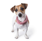 Dog with accessories Royalty Free Stock Photo
