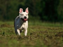 Dog in action Royalty Free Stock Photo