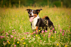 Happy Dog. Dog in Action / Funny Dog Royalty Free Stock Photos