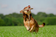 Playing Dog. Dog in Action / Funny Dog Royalty Free Stock Image