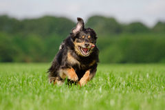 Dog in Action Royalty Free Stock Image