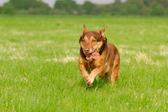 Running Dog. Dog in Action / Funny Dog Stock Images