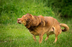 Shaking Dog. Dog in Action / Funny Dog Royalty Free Stock Photo