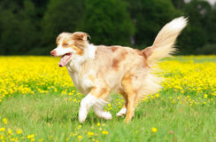 Running Dog. Dog in Action / Funny Dog Stock Photo